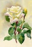 水彩玫瑰 免版税库存图片