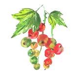 水彩用在白色背景的红浆果 库存照片