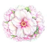 水彩白色和桃红色牡丹花 免版税图库摄影