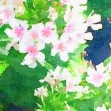 水彩白色花卉花背景 免版税库存照片
