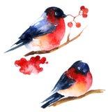 水彩红腹灰雀和ashberry 向量例证