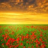 彩色场印第安鸦片红色夏天 免版税库存图片