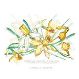 水彩花混合 水仙 向量例证