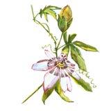水彩花西番莲 向量例证