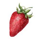 水彩草莓 在白色背景的手拉的艺术性的例证 对设计、纺织品和背景 免版税库存图片