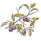 水彩莓果 库存例证