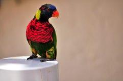 彩虹在岗位的Lorikeet鸟 图库摄影