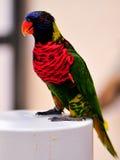 彩虹在岗位,佛罗里达的Lorikeet鸟 图库摄影