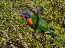 彩虹在树的Lorikeet栖息处 图库摄影