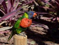 彩虹在树的Lorikeet栖息处 免版税库存图片