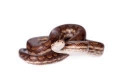 彩虹在白色背景的树蟒蛇 免版税图库摄影