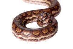 彩虹在白色背景的树蟒蛇 免版税库存照片