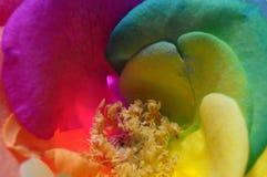 彩虹愉快的玫瑰色花 免版税库存照片