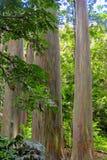 彩虹玉树与五颜六色的吠声的玉树deglupta,毛伊,夏威夷 库存照片