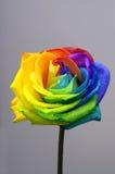 彩虹玫瑰色或愉快的花 免版税库存照片