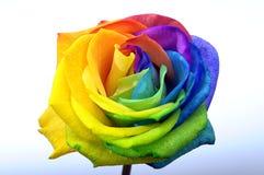 彩虹玫瑰色或愉快的花 免版税库存图片