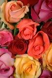 彩虹玫瑰 免版税库存照片