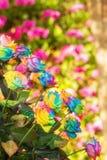 彩虹玫瑰 免版税库存图片