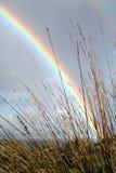 彩虹芦苇 库存照片