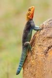 彩虹蜥蜴 免版税图库摄影