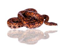 彩虹蟒蛇或苗条蟒蛇在白色 图库摄影