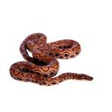 彩虹蟒蛇或苗条蟒蛇在白色 免版税库存照片