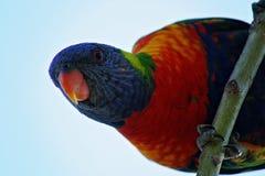 彩虹长尾小鹦鹉 库存照片