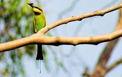 彩虹食蜂鸟在我的庭院里 库存照片