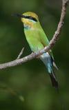 彩虹食蜂鸟 库存图片