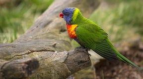 彩虹Lorikeet在布拉格动物园里,捷克 库存照片