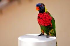 彩虹Lorikeet鸟在鸟舍,佛罗里达 免版税图库摄影