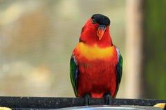 彩虹lorikeet,南非 库存图片