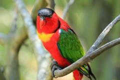 彩虹lorikeet,南非 免版税库存图片