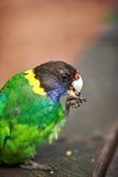 彩虹Lorikeet,西方澳洲 图库摄影