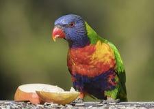 彩虹Lorikeets美丽的色的澳大利亚鸟 免版税图库摄影