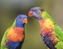 彩虹Lorikeets美丽的色的澳大利亚鸟 免版税库存图片