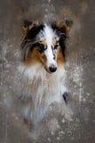 水彩设德蓝群岛牧羊犬 库存图片