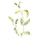 水彩豌豆 向量例证