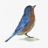 水彩鸟 库存图片