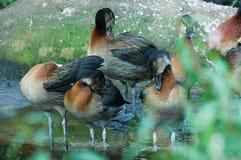 水彩鸭子 库存图片