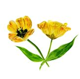 水彩绘画套郁金香 黄色在白色背景的被隔绝的郁金香 库存照片