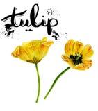 水彩绘画套twoTulips 黄色在白色背景的被隔绝的郁金香 库存照片