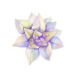 水彩紫罗兰色多汁植物 顶视图 免版税库存图片
