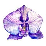 水彩紫色兰花 免版税库存图片