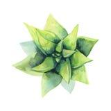 水彩绿色多汁植物 顶视图 异乎寻常的花 免版税库存图片