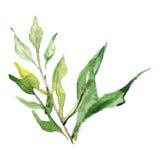 水彩绿色植物叶子分支例证 免版税库存图片