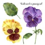 水彩蝴蝶花集合 与叶子、在白色和分支的手画花卉例证隔绝的中提琴花 向量例证