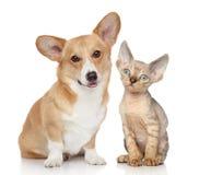 彭布罗克角和德文郡rex小猫的画象 免版税库存图片