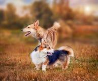 彭布罗克角威尔士小狗和Laika画象 免版税库存照片