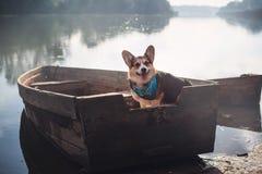 彭布罗克角威尔士小狗,狗跑威尔士的小狗户外 免版税图库摄影